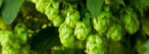 Hops of first-class quality